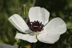 Wahrscheinlich Stachelmohn mit Käfer (Prickly poppy / Argemone mexicana, Fam. Mohngewächse / Poppy family / Papaveraceae)