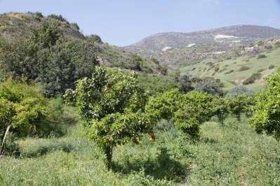 Orangenbaum mit Früchten
