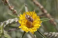 Weberknecht (Metaphalangium propinquum?) auf Stechenden Sternauge (Pallenis spinosa)
