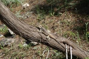Schleuderschwanz auf Baumstamm
