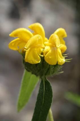 Blüte eines Phlomis cypria subsp. occidentalis (kommt nur auf Akamas und im Paphos Forest vor!) Gatt. Brandkräuter