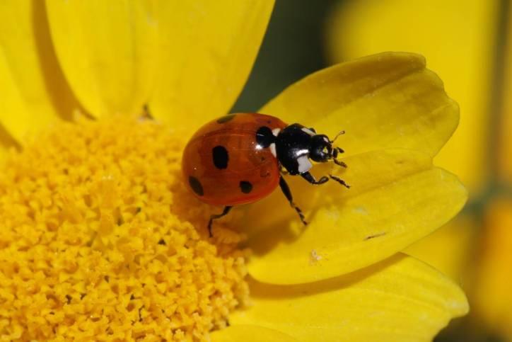 Siebenpunkt auf Kronenwucherblume