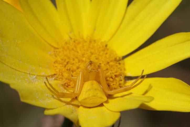 Veränderliche Krabbenspinne auf Kronenwucherblume
