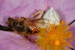 Veränderliche Krabbenspinne (Goldenrod crab spider / Misumena vatia) mit Beute auf Kretischer Zistrose (Cistus creticus)