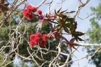 Früchte des Wunderbaums