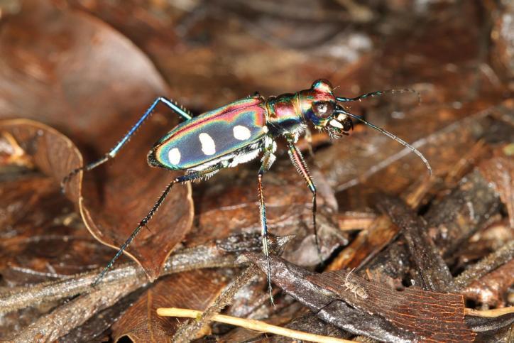 Tiger Beetle / Cosmodela virgula