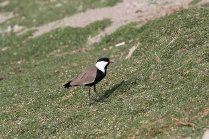 Spornkiebitz / Spur-winged lapwing / Vanellus spinosus