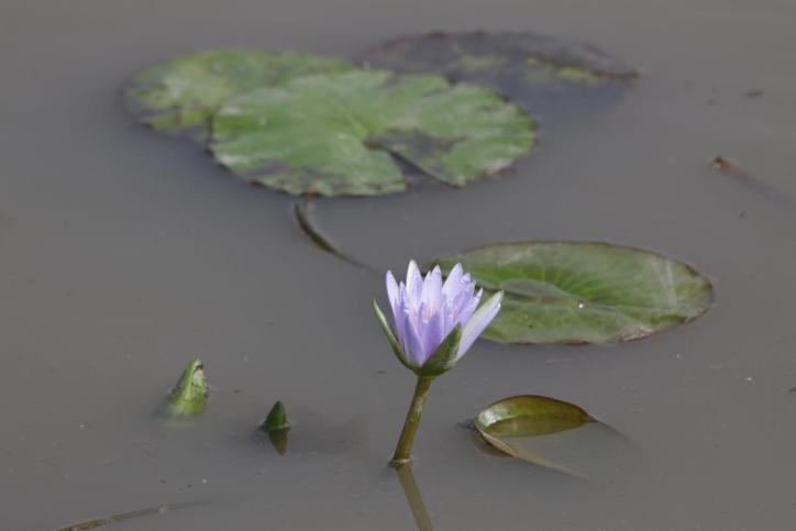 Seerosen-Hybrid / Nymphaea x