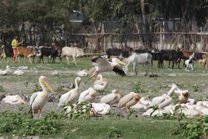 Rosapelikan / Great White Pelican, Eastern White Pelican, Rosy Pelican, White Pelican / Pelecanus onocrotalus