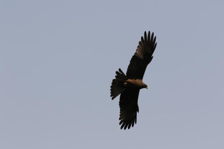 Schwarzmilan-aegyptius / Yellow-billed kite / Milvus aegyptius