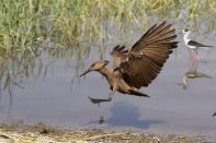 Hammerkopf, Schattenvogel / Hamerkop, Hammerhead, Hammerhead stork, Umbrette, Umber bird, Tufted umber, Anvilhead / Scopus umbretta