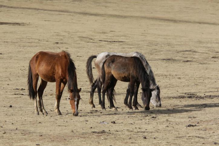 Hauspferd / Horse / Equus ferus caballus