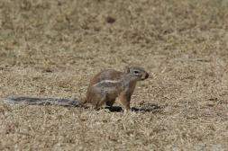 Gestreiftes Borstenhörnchen / Striped ground squirrel / Xerus erythropus