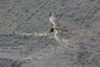 Schwarzmilan-aegyptius / Yellow-billed kite / Milvus aegyptius ?
