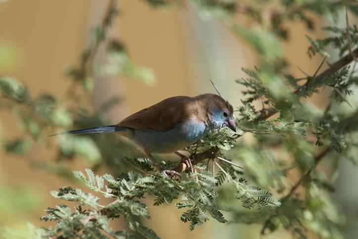 Schmetterlingsfink / Red-cheeked cordon-bleu / Uraeginthus bengalus