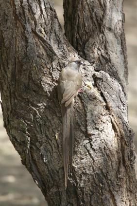 Braunflügel-Mausvogel, Gestreifter Mausvogel / Speckled mousebird / Colius striatus