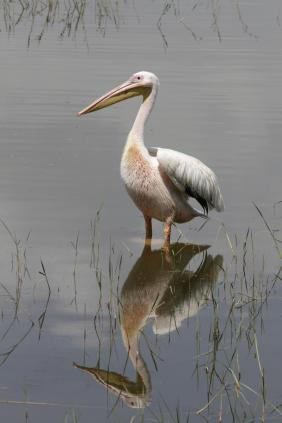 Rosapelikan / Great White Pelican, Eastern White Pelican, Rosy Pelican, White Pelican / Pelecanus onocrotalus