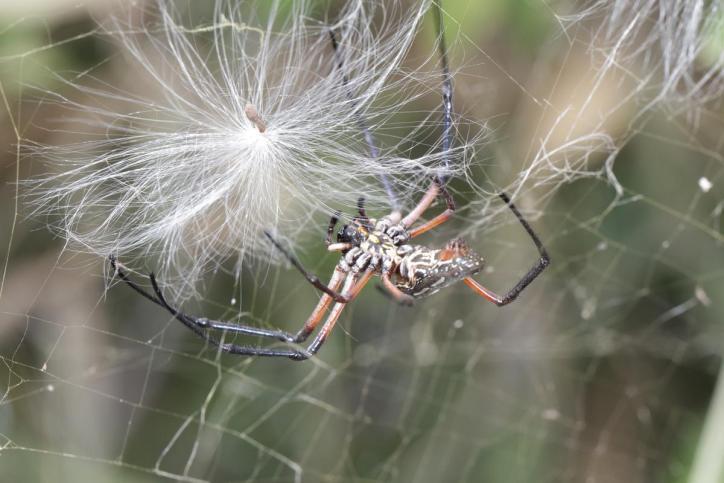 Seidenspinne / Golden silk orb-weaver / Nephila sp.