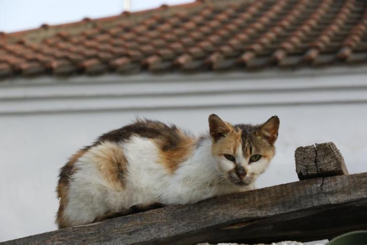 Hauskatze / Domestic cat / Felis silvestris catus
