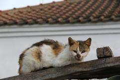 Hauskatze / Domestic cat / Felis silvestris catus