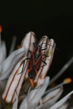 Horistus infuscatus