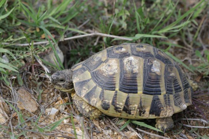 Griechische Landschildkröte, Hermann Landschildkröte / Hermann's Tortoise / Testudo hermanni ?
