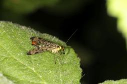 Deutsche Skorpionsfliege / Panorpa germanica