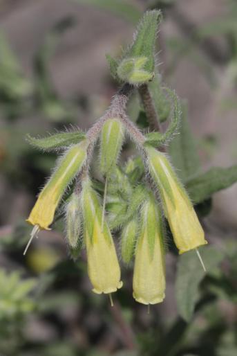 Natternkopf-Lotwurz / Onosma echioides