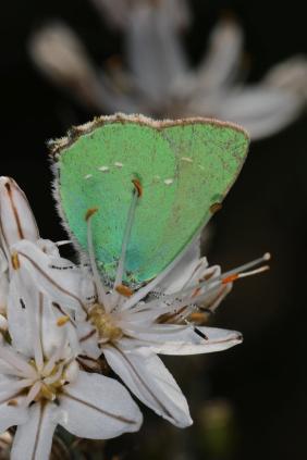 Brombeerzipfelfalter / Green hairstreak / Callophrys rubi