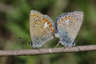 Echte Bläulinge / Blues / Polyommatinae