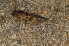Maulwurfsgrille / European mole cricket / Gryllotalpa gryllotalpa