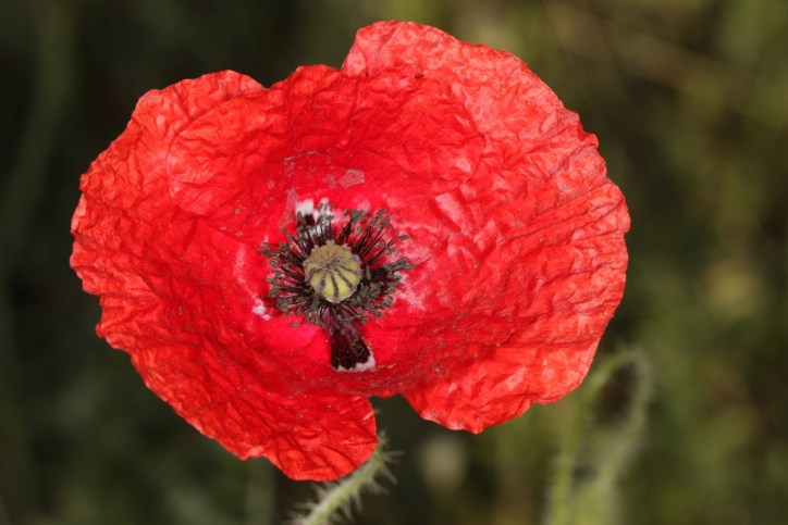 Klatschmohn / Common poppy, Flanders poppy, Red poppy / Papaver rhoeas