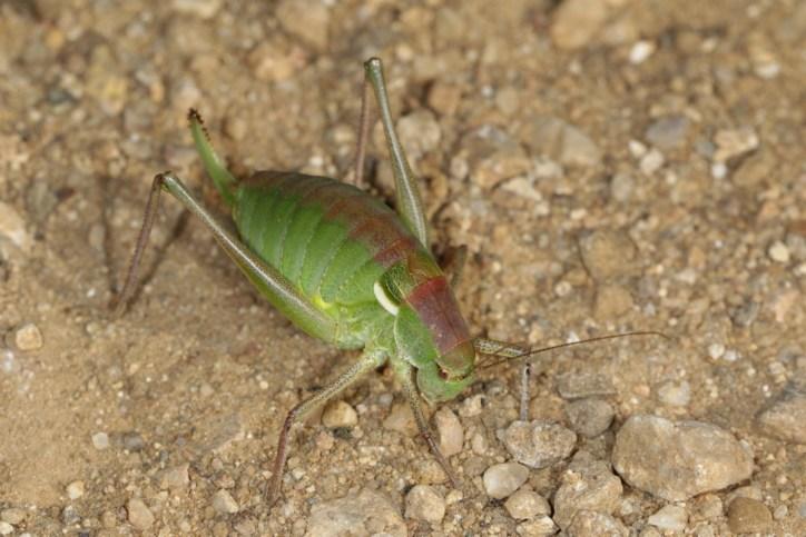 Isophya hospodar