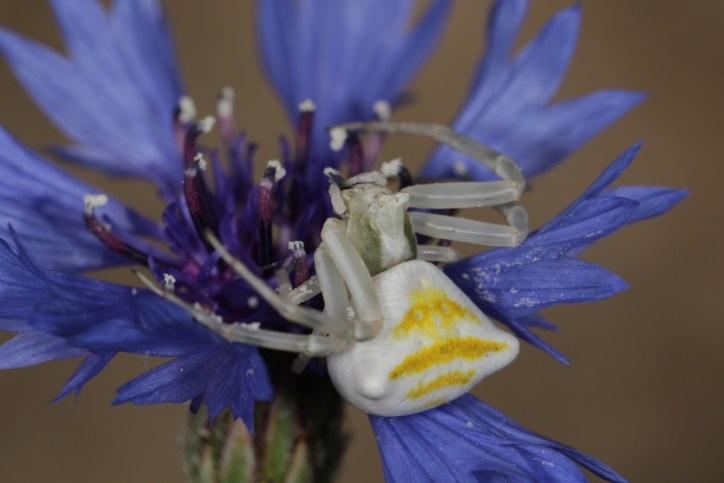 Veränderliche Krabbenspinne / Goldenrod crab spider / Misumena vatia