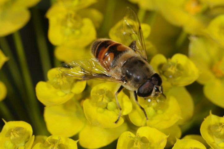 Mistbiene, Schlammbiene, Scheinbienen-Keilfleckschwebfliege / Drone fly / Eristalis tenax ?
