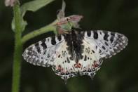 Balkan-Osterluzeifalter / Eastern festoon / Zerynthia cerisy, Allancastria cerisyi