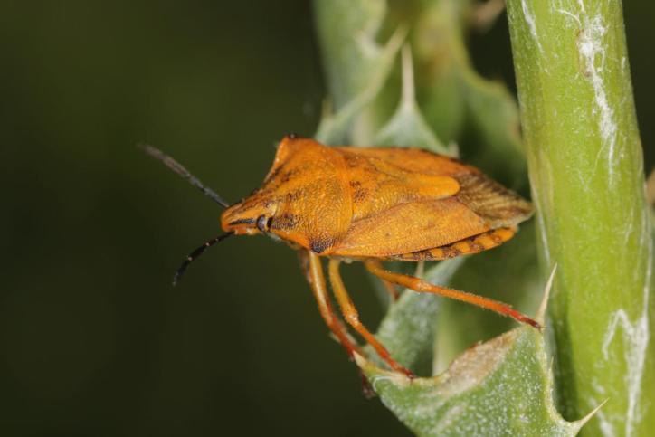 Baumwanzen / Pentatomidae