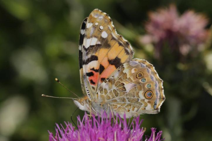Distelfalter / Painted lady / Vanessa cardui