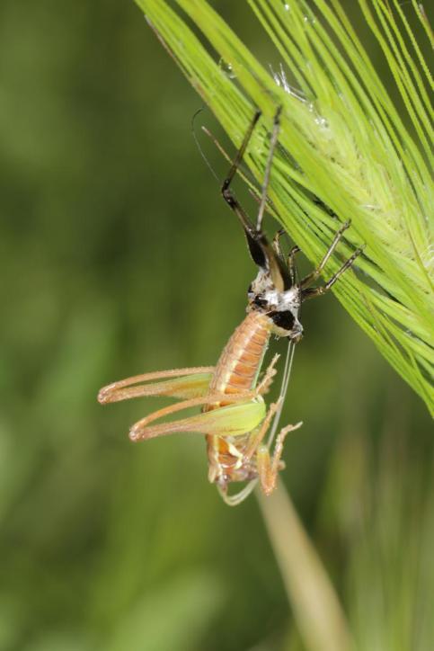 Singschrecken / Shield-backed katydids / Tettigoniinae