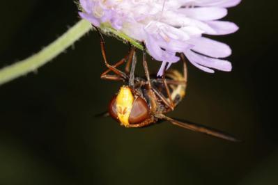 Hornissenschwebfliege, Große Waldschwebfliege, Riesen-Hummelschwebfliege / Hornet mimic hoverfly / Volucella zonaria