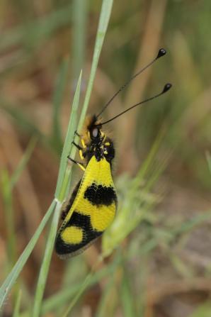 Östlicher Schmetterlingshaft / Libelloides macaronius