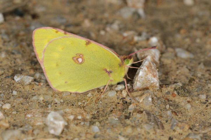 Postillon / Dark Clouded Yellow, Common Clouded Yellow / Colias crocea