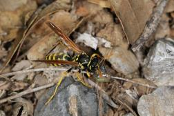 Gallische Feldwespe, Französische Feldwespe / European paper wasp, Yellow paper wasp / Polistes dominula, Polistes gallica