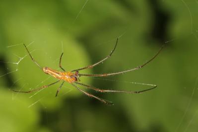 Streckerspinnen / Long-jawed orb weaver / Tetragnathidae