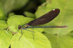 Blauflügel-Prachtlibelle / Beautiful Demoiselle / Calopteryx virgo