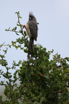 Weißrücken-Mausvogel / White-backed mousebird / Colius colius