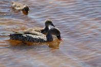 Kapente / Cape Teal / Anas capensis