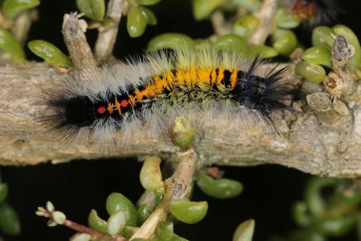 Trägspinner, Schadspinner, Wollspinner / Tussock moths / Lymantriinae