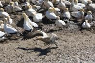 Kaptölpel / Cape gannet / Morus capensis