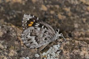 Boland rocksitter / Durbaniopsis saga